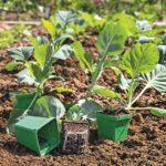 Сколько стоит рассада капусты?