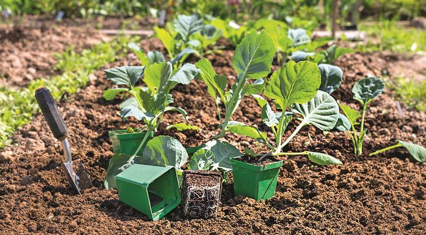 Сколько стоит рассада капусты