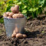 Сколько стоит ведро картошки?