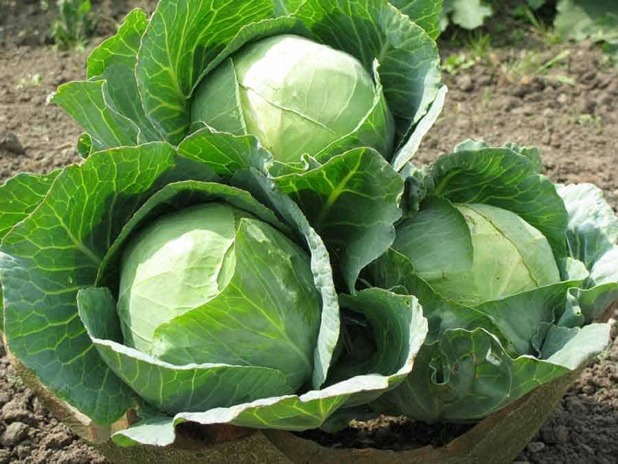 Цена белокочанной капусты
