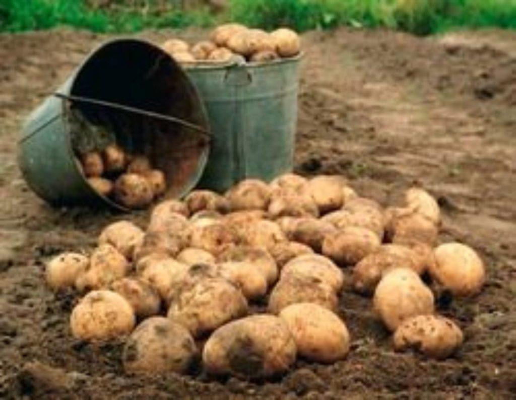 Стоимость ведра картошки