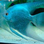 Сколько стоит рыба скалярия?