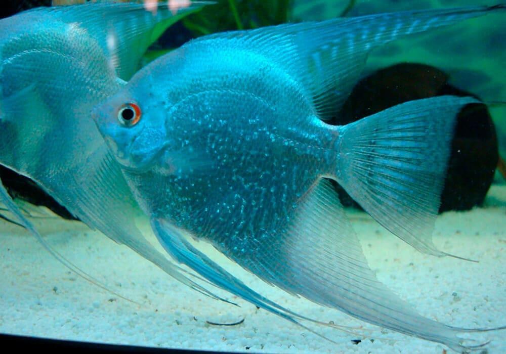 Сколько стоит рыба скалярия