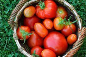Цена томата